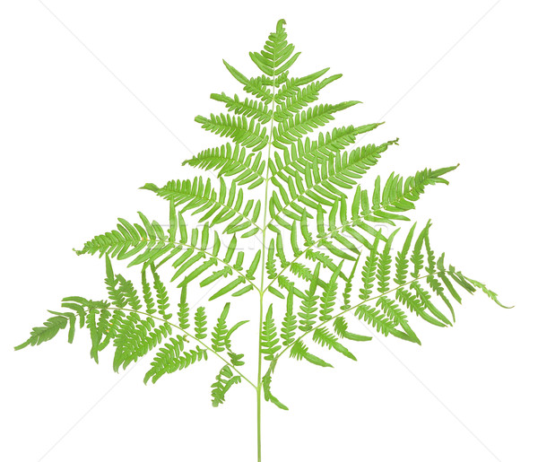 fern branch isolated on white  Stock photo © inxti