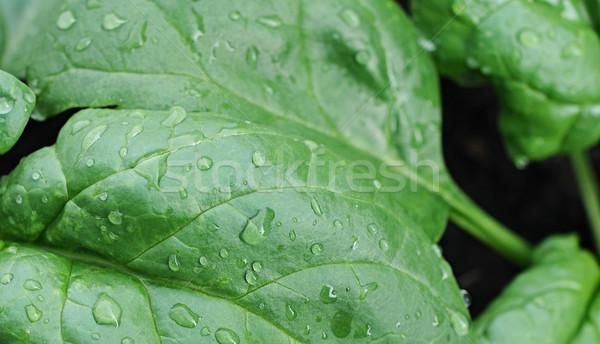 świeże szpinak warzyw pozostawia ramki grupy Zdjęcia stock © inxti