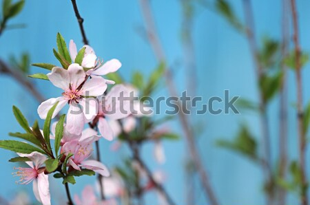 Stock photo: Spring cherry blossoms on blue background