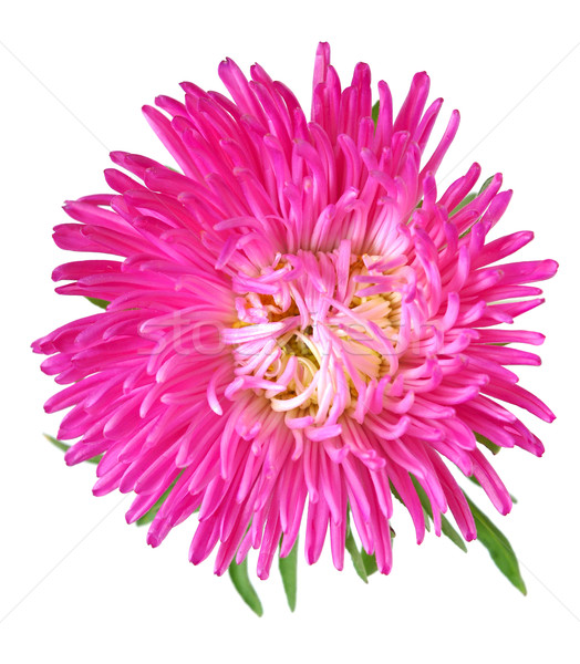 Single aster flower head isolated on white Stock photo © inxti