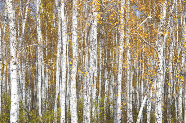 Autumn background. Birches against cloudy sky  Stock photo © inxti