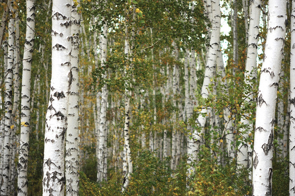 Stock photo: Beautiful landscape in autumn birch grove
