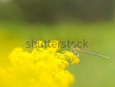トンボ 黄色の花 美 緑 公園 翼 ストックフォト © inxti