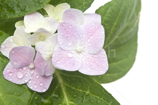 hydrangea close up with dew  Stock photo © inxti