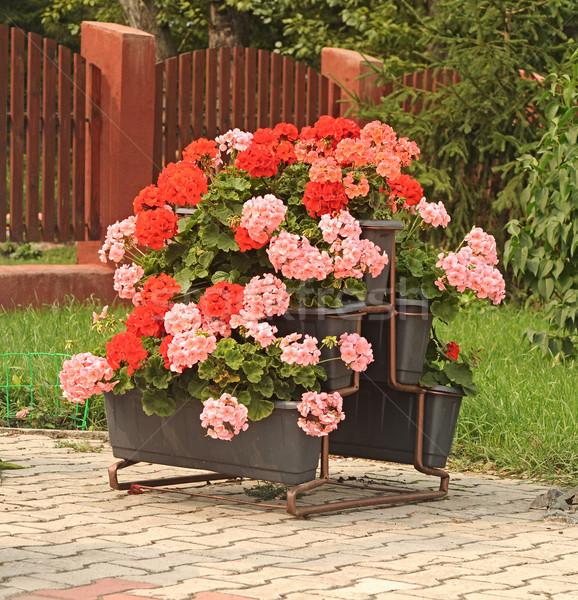 Pink Geranium in flower pot  Stock photo © inxti