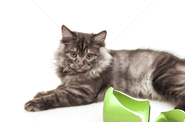 Cute gray cat feeling guilty after breaking a mug  Stock photo © inxti