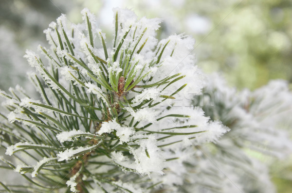 Pine branches covered with hoarfrost  Stock photo © inxti