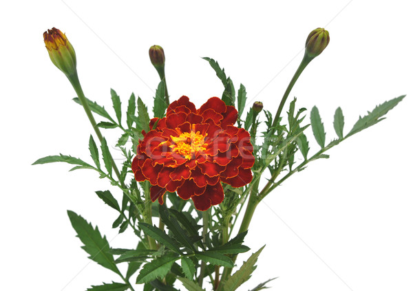 Marigold flower on a white background Stock photo © inxti