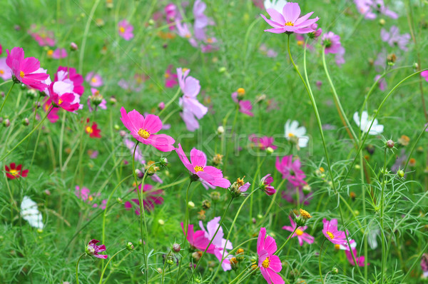 Colorful wildflowers blossoming in field  Stock photo © inxti
