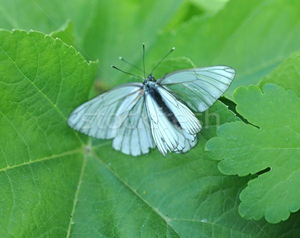 Beleza borboleta folha natureza luz verão Foto stock © inxti