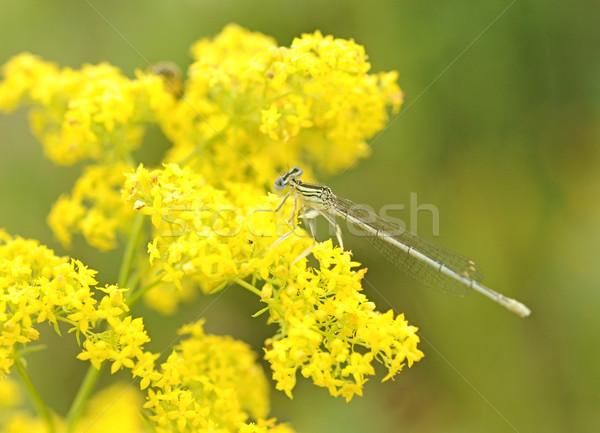 Yusufçuk sarı çiçek güzellik yeşil park kanatlar Stok fotoğraf © inxti