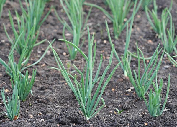 лука плантация продовольствие лист фермы Сток-фото © inxti