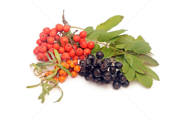 buck thorn, ashberry and chokeberry with leaves on a white backg Stock photo © inxti