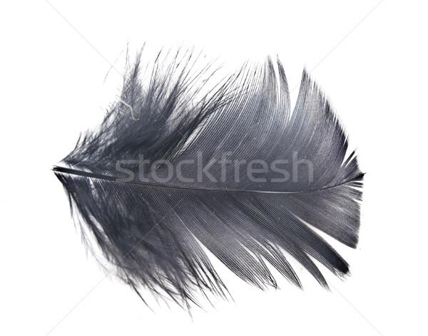 black feather on white background  Stock photo © inxti