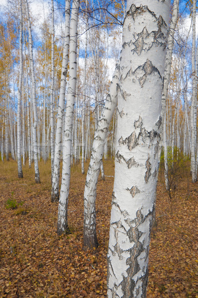 A autumn birch grove among orange grass Stock photo © inxti