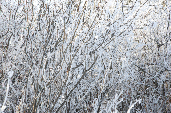Winter tree branch with snow Stock photo © inxti