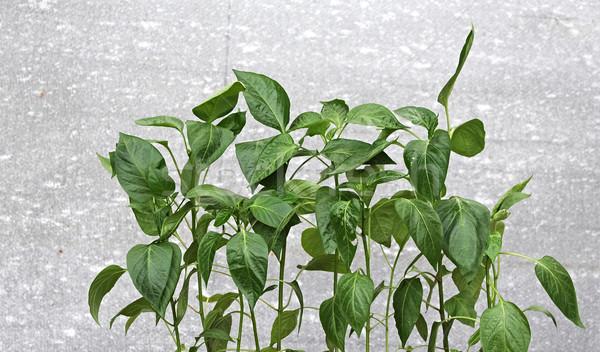 paprika seedlings Stock photo © inxti