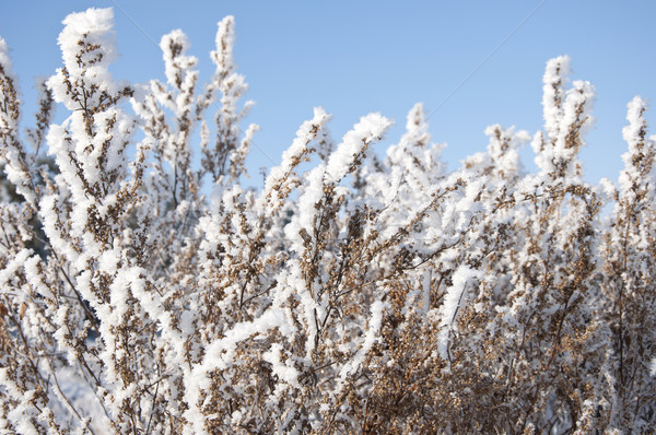 Stock photo: dry grass under the snow