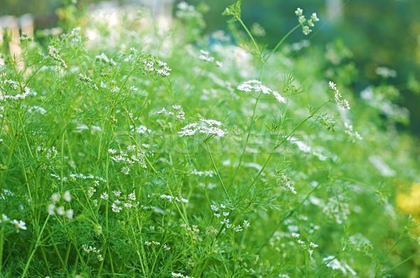 Stok fotoğraf: Kişniş · çiçek · doğa · yaprak · yeşil · bitki