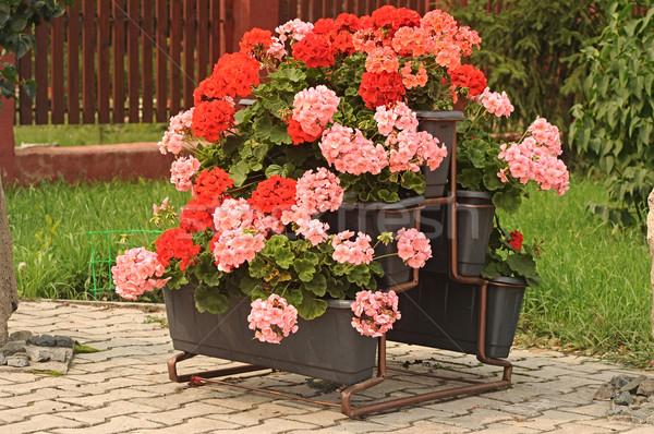 Nice geranium  Stock photo © inxti