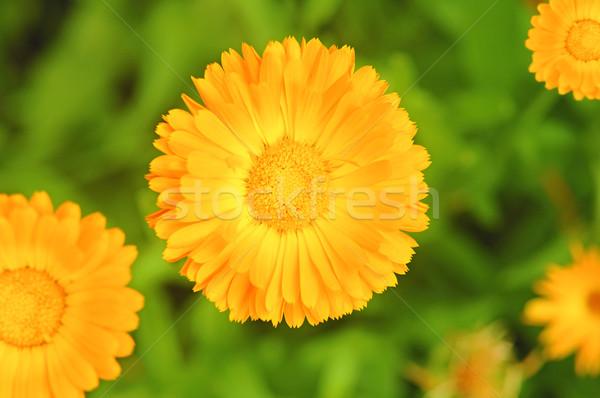Calendula flower on blurred background  Stock photo © inxti