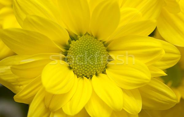 Sarı krizantem ahşap bahar ışık dizayn Stok fotoğraf © inxti