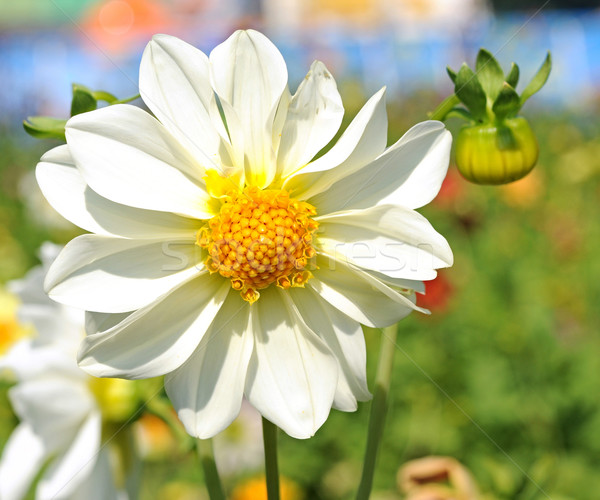 white dahlia flower with yellow center over green grass  Stock photo © inxti
