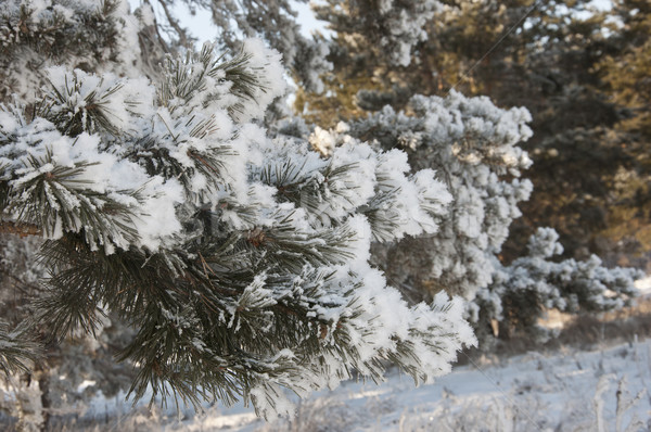 Winter background. A coniferous tree in hoarfrost and snow  Stock photo © inxti