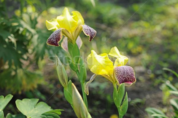 Yellow irises in the garden  Stock photo © inxti