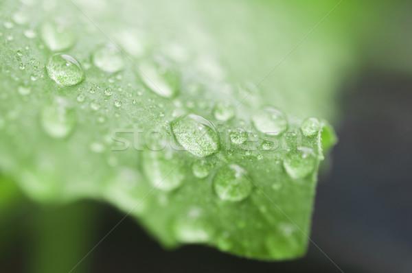 Dew drops close up  Stock photo © inxti