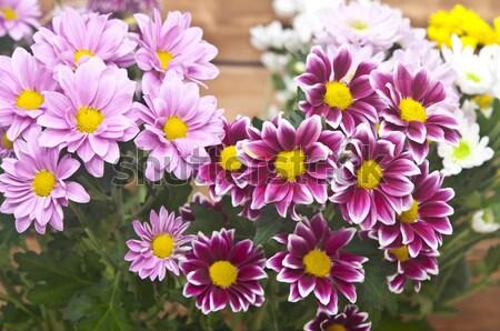 Colorido crisantemo ramo rústico flor Foto stock © inxti