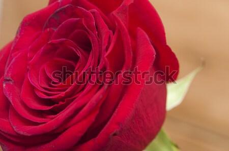 Red rose Stock photo © inxti