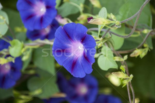 Petunia Stock photo © inxti