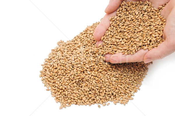fistful of wheat grains on white background Stock photo © inxti