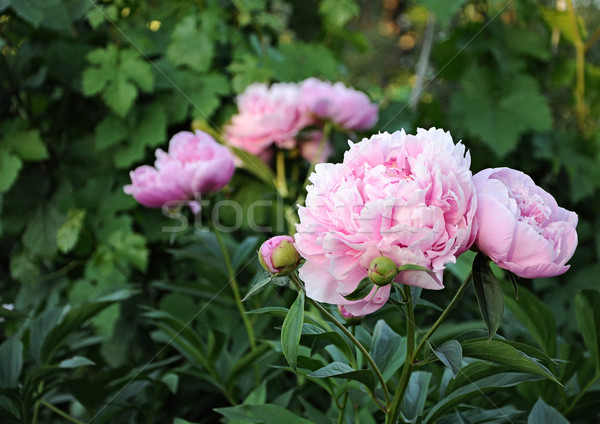 Bouquet of fresh pink peonies Stock photo © inxti