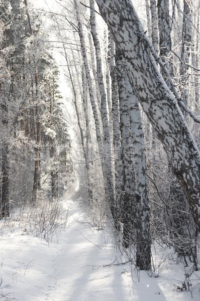 Huş ağacı orman kış siyah beyaz manzara kar Stok fotoğraf © inxti