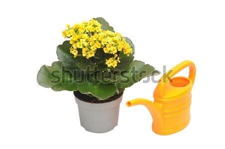 flowering houseplant watering from a watering can Stock photo © inxti