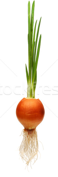 growing onion bulb with fresh green sprouts Stock photo © inxti