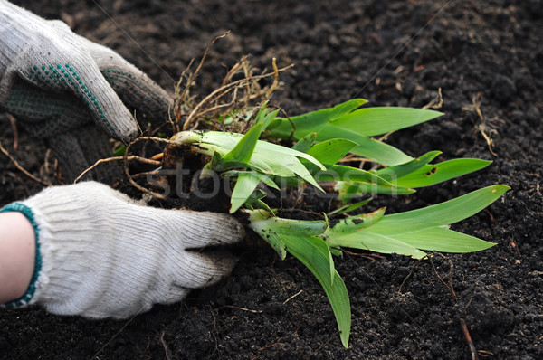Stock photo: plant in hand over soil background