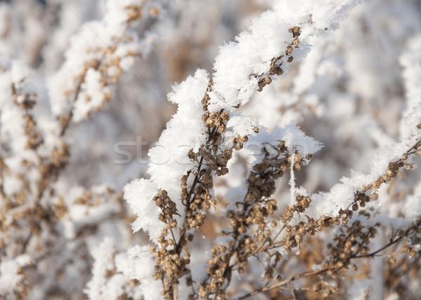 dry grass under the snow  Stock photo © inxti