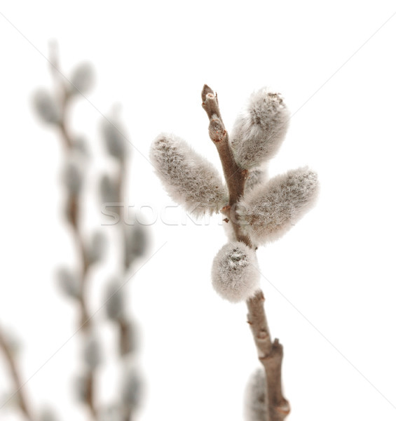 willow pussy spring flower on white background  Stock photo © inxti