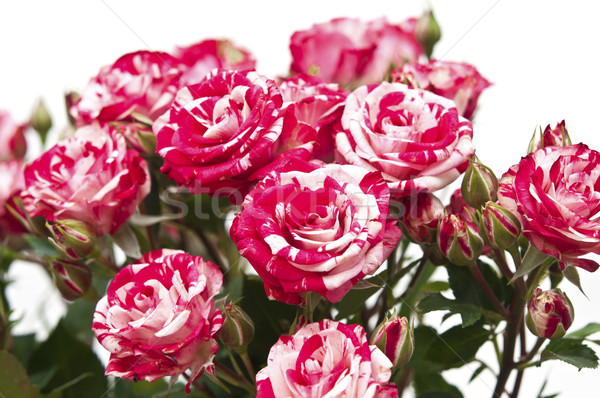 Bouquet of red-white roses, isolated on white Stock photo © inxti