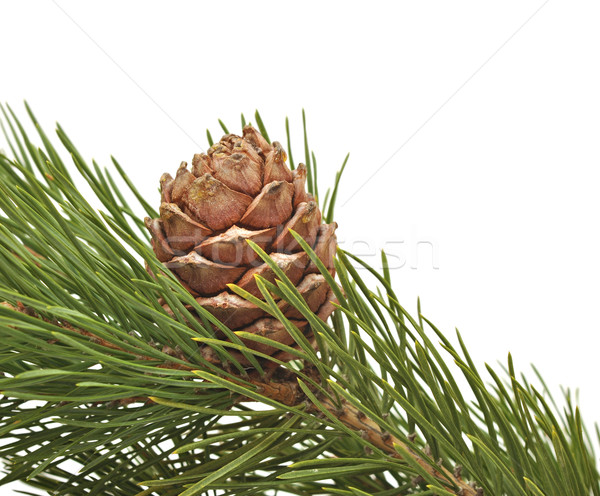 siberian pine cone with branch  Stock photo © inxti