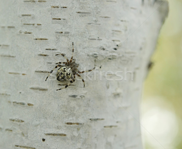 Spider дерево Кора глаза веб животные Сток-фото © inxti