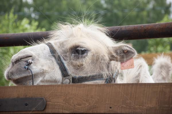 Közelkép tevék fej kék portré állat Stock fotó © inxti