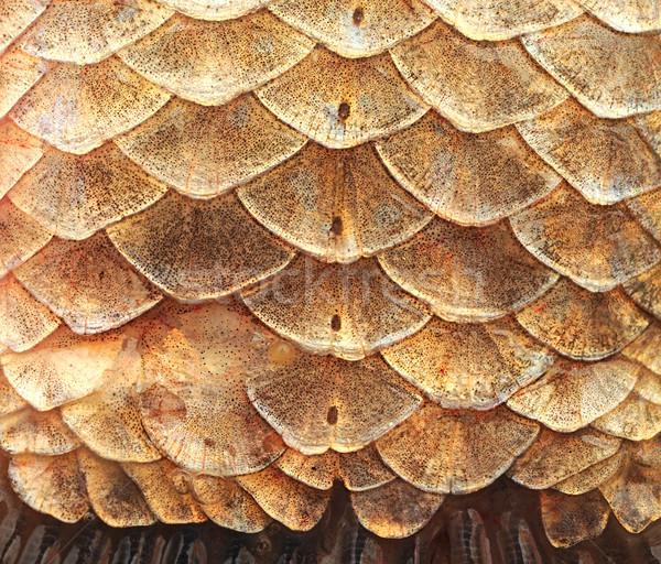Crucian carp scales, close-up - natural texture, macro shot  Stock photo © inxti