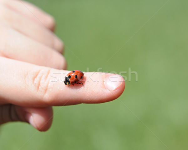 A close-up view of a child's hands hold a bright red ladybug Stock photo © inxti