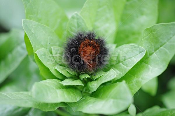 hairy black caterpillar on the leaf  Stock photo © inxti