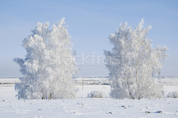 Frosted trees  Stock photo © inxti