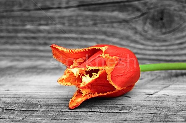 Tulip  Stock photo © inxti